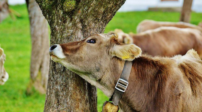 Avem motive sa evitam consumul carnii de vita?