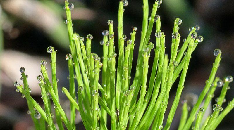 Planta cu o mie de beneficii pentru sanatatea ta