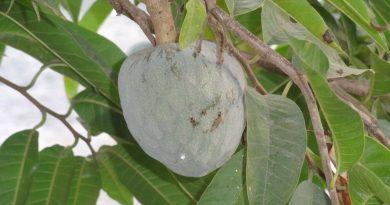 Graviola fructul minune