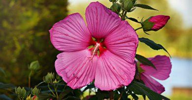 ceaiul de hibiscus