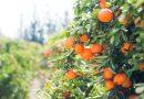 Clementinele – slabeste repede si usor!