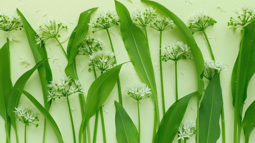 Leurda, planta minunată care vindecă o mulțime de boli